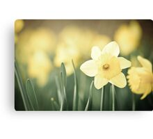Fields of Daffodils... Canvas Print