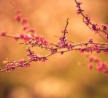 Redbuds, and magnolias... by GarenT