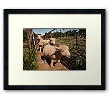 Go Lamb Go Framed Print