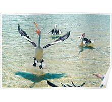 Pelicans feeding in the water Poster
