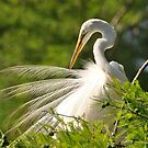 Great White Egret Grooming by Kathy Baccari