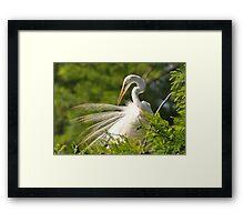 Great White Egret Grooming Framed Print