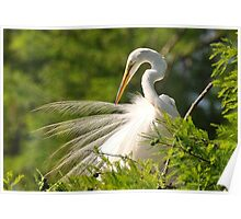 Great White Egret Grooming Poster