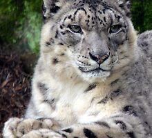 Snow Leopard by sketchpoet