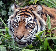Sumatran Tiger by sketchpoet