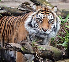 Sumatran Tiger 2 by sketchpoet