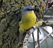 Eastern Yellow Robin by Michelle Munday