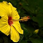 Yellow Hibiscus by cclaude