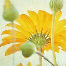 Sunny Daisy by StarFlowerSt