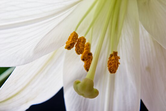 Lily Flower Macro by Vicki Field