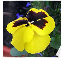 Sleeping in the Sun - Pansy Portrait Poster