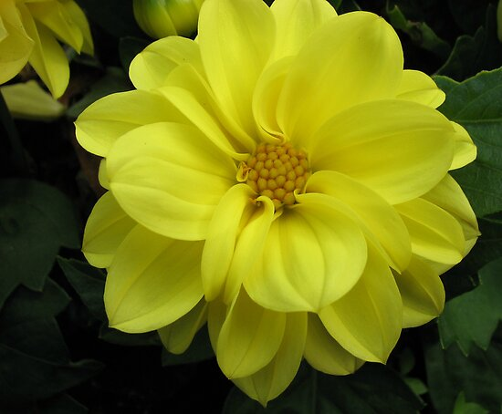 Lovely in Lemon - Dahlia Beauty by BlueMoonRose