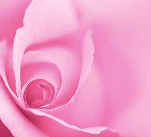 Pale Pink Rose Wall Art by Natalie Kinnear
