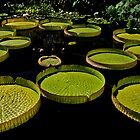 Lily Pads by cclaude