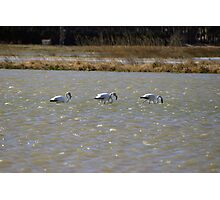 Three Flamingos Photographic Print