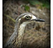 Bush Stone Curlew Photographic Print