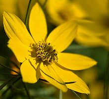 Coreopsis by PhotosByHealy