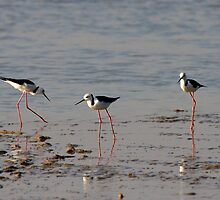 Black Winged Stilts. by trevorb