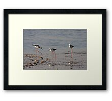 Black Winged Stilts. Framed Print