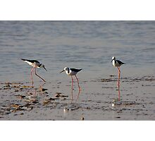 Black Winged Stilts. Photographic Print