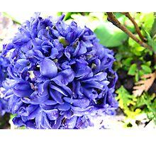 Hyacinth in the rain Photographic Print