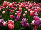A bed of tulips by cclaude