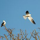 White-Tailed Kites - Santo Domingo, Costa Rica by Stephen Stephen