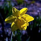 Daffodil by diggle