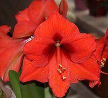 In Full Bloom by karina5