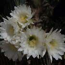 White Cactus Flowers by Geoffrey Higges