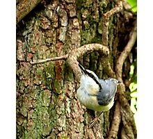 Nuthatch #1 Photographic Print