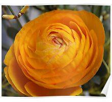 Ranunculus asiaticus Poster