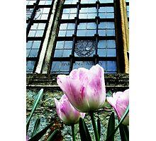 Barking Abbey Tulips Photographic Print