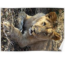1 year old male lion Poster