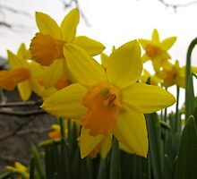 DAFFODILS by Colleen2012