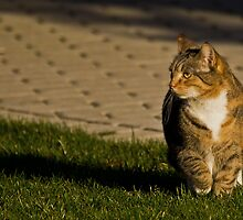 Cat in the sun by RosiePosie