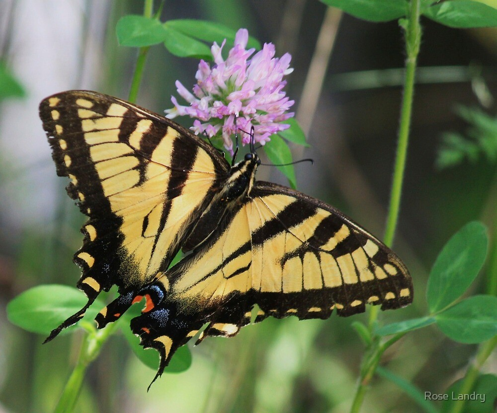 Two Tail Giant Swallowtail! by Rose Landry