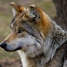 Close Up Portrait Of Female Mexican Gray Wolf by John Absher