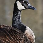 Canada Goose in Profile by Laurie Minor