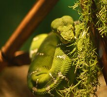 Snake by MyraVeresPhoto