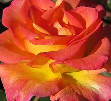 Autumn Sunset Rose by shutterbug2010
