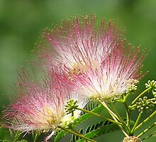 Mimosa ~  An Exotic Flowering Tree by SummerJade