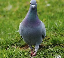 Pigeon walking by flashcompact