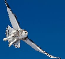 Snowy Owl  by Richard Labelle