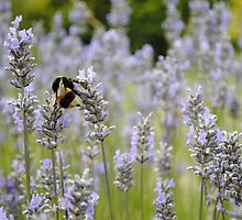 Bee In A Lavender Field by Magda Labuda