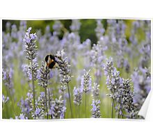Bee In A Lavender Field Poster