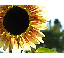 Fabulous Sunflower Photographic Print
