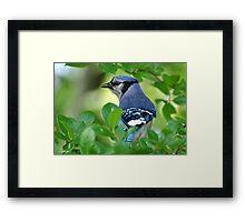 Blue Jay Framed By Leaves Framed Print