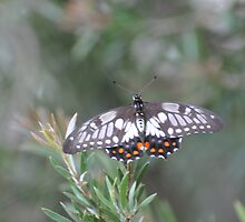 Butterfly resting out of the rain by Peter Holland