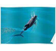 Dusky Dolphin  Poster